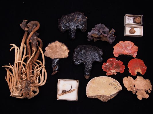熊楠採集品 所蔵:国立科学博物館